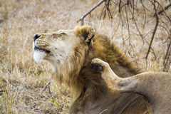 Lion scratching in Kruger savannah, South Africa Stock Image
