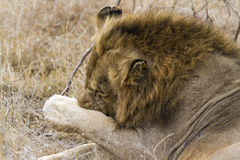 Lion scratching in Kruger savannah, South Africa Royalty Free Stock Image