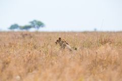 Lion se cachant dans l'herbe Photographie stock libre de droits