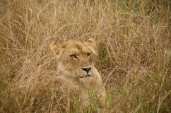 Lion se cachant dans l'herbe grande Photographie stock libre de droits