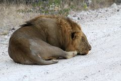 Lion se couchant en parc national d'etosha, Namibie images libres de droits
