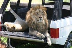 Lion se reposant à l'intérieur d'une jeep dans le sauvage Photo stock