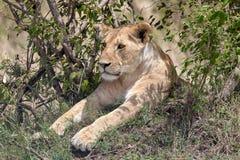 Lion se reposant dans les prairies sur Masai Mara, Kenya Afrique photographie stock libre de droits