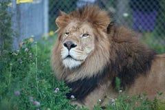 Lion se reposant sur l'herbe dans un safari Photo stock