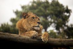 Lion se reposant sur un rondin images stock