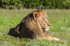 Lion se situant dans l'herbe Photo stock