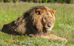 Lion se situant dans l'herbe Photographie stock libre de droits