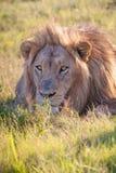 Lion se situant dans l'herbe Image libre de droits