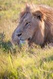 Lion se situant dans l'herbe Photos libres de droits