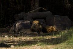 Lion se trouvant derrière des roches photographie stock libre de droits