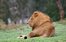 Lion seating Stock Photography