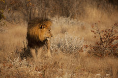 lion sedd sida Arkivfoto