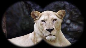 Lion Seen femenino a través de los prismáticos Animales de observación en el safari de la fauna almacen de metraje de vídeo