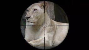 Lion Seen femminile nella portata del fucile della pistola Caccia della fauna selvatica Animali pericolosi, vulnerabili e minacci stock footage