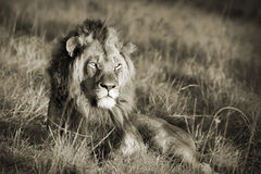 Lion sepia Stock Photos
