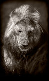 Lion. Sepia monochrome image of a wild African Lion Stock Photography