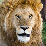 Lion in the Serengeti Royalty Free Stock Photography