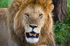 Lion in the Serengeti Stock Image