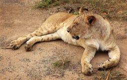 Lion Serengeti, Afrika Arkivfoto