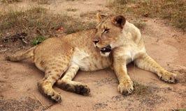 Lion Serengeti, Afrika Royaltyfria Foton