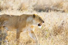 Lion in Serengeti Royalty Free Stock Photo