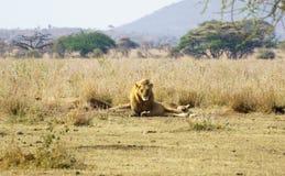 Lion in Serengeti Stock Photo