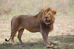 Lion in Serengeti. National park, Tanzania Royalty Free Stock Photography