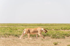 Lion in Serengeti National Park Stock Photos