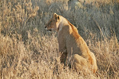 Lion serengeti. A lion in the serengeti park in tanzania Stock Photos