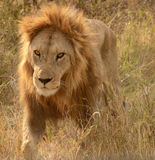 Lion in Serengeti, Tanzania Royalty Free Stock Photos