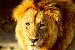 Lion in the Serengeti Stock Photography
