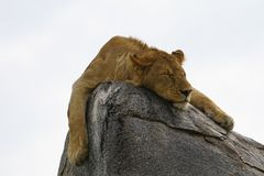 Lion in Serengeti, Tanzania Stock Image