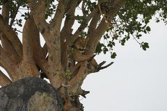 Lion in Serengeti, Tanzania Stock Images