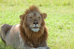 Lion In The Shade Royalty Free Stock Images