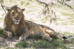 Lion in the shade. Lion lying under u tree Stock Image