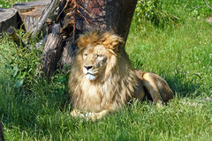 Lion in the shade of trees Stock Photo