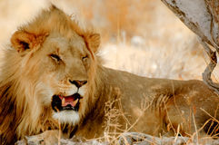 Lion in the shadow. In Etosha Royalty Free Stock Image