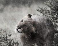 Lion Shake bagnato Immagine Stock