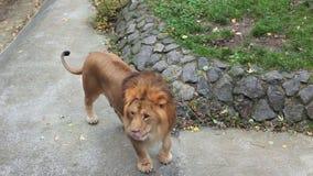 Lion Shakes Mane Then Goes banque de vidéos