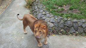 Lion Shakes Mane Then Goes stock footage