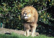 Lion shaking its mane funnily stock photography