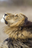 Lion shecking en parc national de Kruger, Afrique du Sud Photo stock