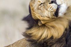 Lion shecking en parc national de Kruger, Afrique du Sud Photographie stock libre de droits
