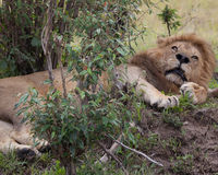 A Lion sheltering under small bush Stock Photo