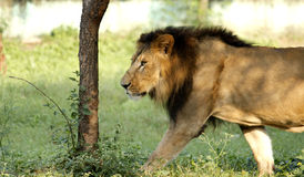 Lion. Shot at indore zoo, Mp INDIA Stock Image