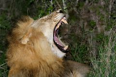 Lion showing off his teeth Stock Photo