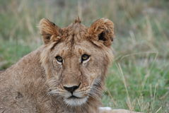 A  lion showing some interest Stock Image