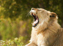Lion Showing Teeth. Young Male Lion showing teeth Stock Images