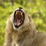 Lion Showing Teeth Stock Image