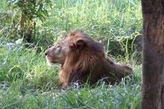 Lion in shrubs. Taken at banerghatta national park royalty free stock photography